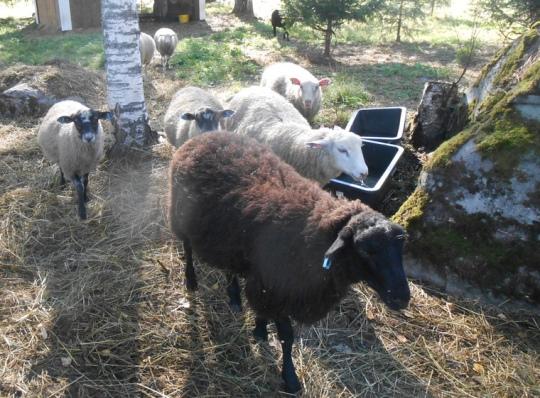 Luostarin asukkaiden ja vierailijoiden suosikkeja ovat naapurilta lainassa olevat lampaat, jotka kesällä tekevät talkootöitä Lintulassa. (Kuva/Photo: Aristarkos Sirviö )