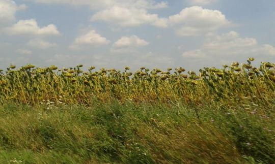 Auringonkukkapelto kesätuulessa. ( Kuva/Photo: Andra Aldea-Löppönen )