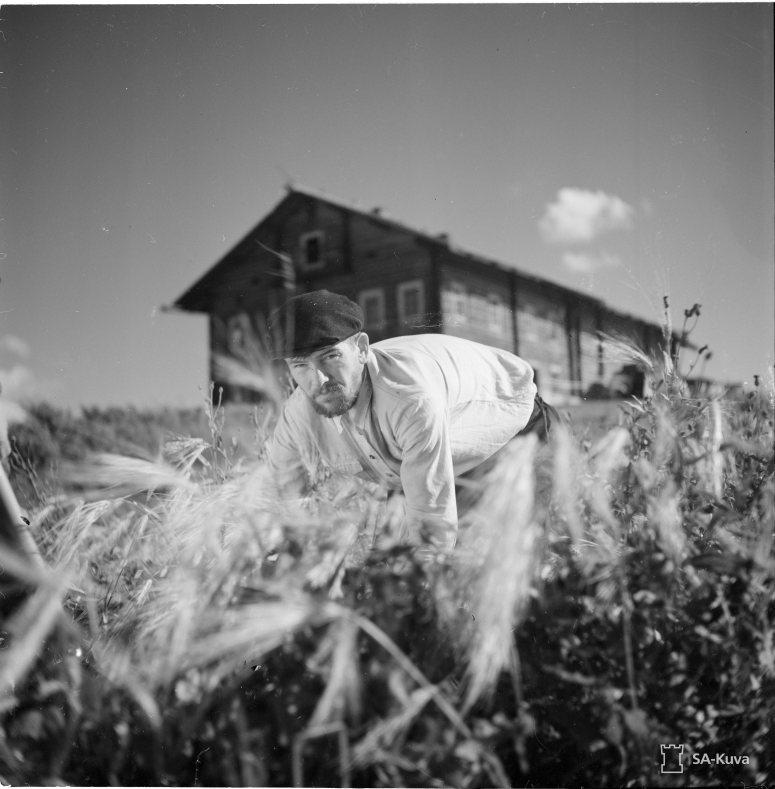 """""""Juho Ignatief korjaa ohraa. Tsalkki-Suojärvi 1941.09.12"""" (Kuva/Photo: SA-kuva)"""
