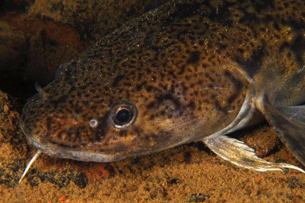 Ponihännättömän matikan pää. Leuassa on turskakaloille tyypillinen viiksisäie. (kuva/photo:sjohaven.com)